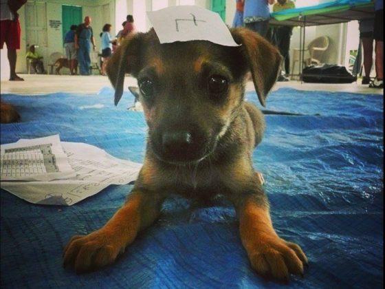 Mignon petit chiot à la clinique vétérinaire de la FAVI