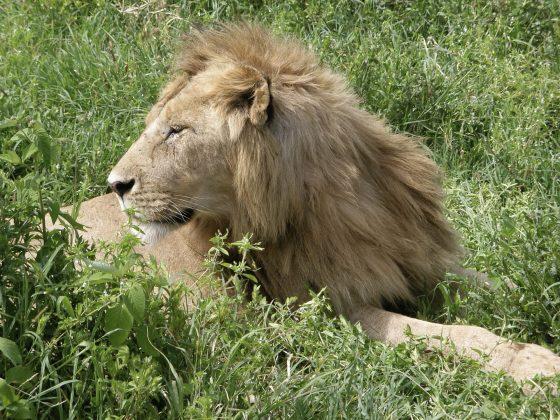 Lion en Tanzanie