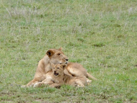 Lionne et son lionceau en Tanzanie