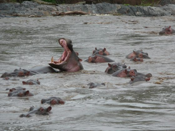 Hippopotames en Tanzanie
