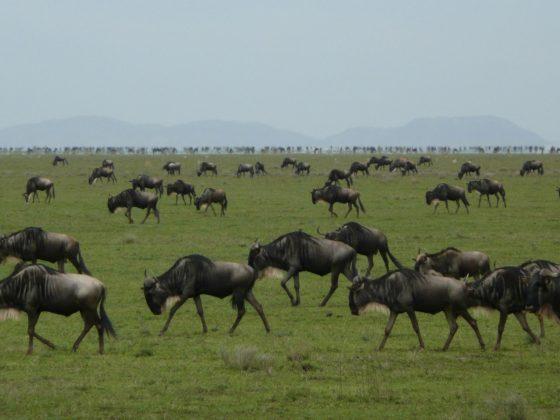 Migration des gnous en Tanzanie