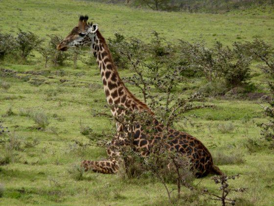 Girafe Masaï en Tanzanie