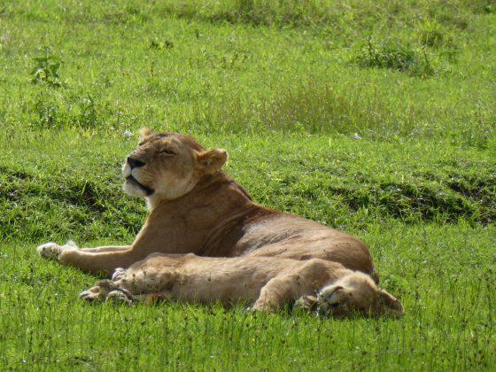 Lionnes safari FAVI Tanzanie