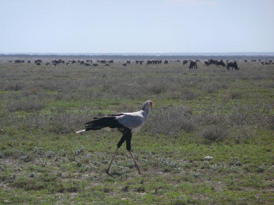 Oiseau secrétaire safari FAVI Tanzanie