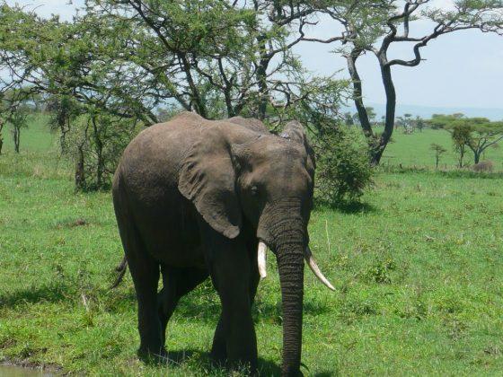 Éléphant lors du safari FAVI en Tanzanie