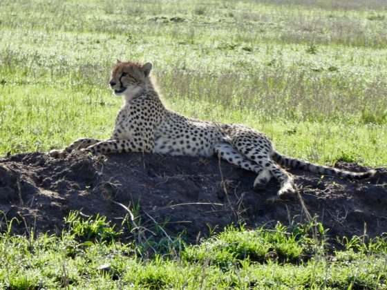 Guépard safari FAVI Tanzanie 2017