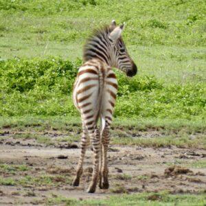 Bébé zèbre safari FAVI Tanzanie