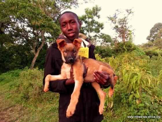 Mbwa Wa Africa vaccine des milliers de chiens par année en Tanzanie