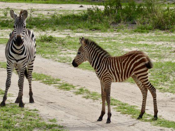 Zèbres du parc Tarangire lors du safari FAVI