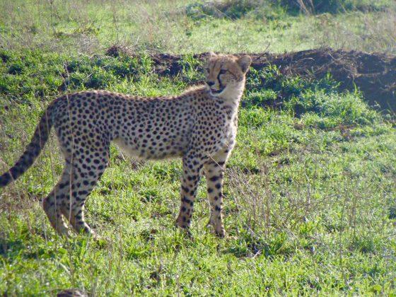 Guépard lors du safari de la FAVI en Tanzanie