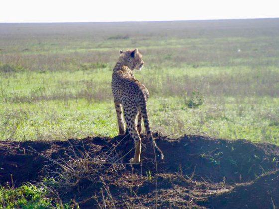 Magnifique guépard du Serengeti en safari Favi