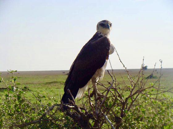 Superbe aigle lors du safari FAVI en Tanzanie