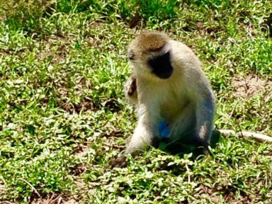 Petit singe vervet lors du safari FAVI en Tanzanie