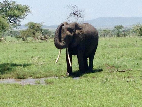 Bain de boue dans le Serengeti