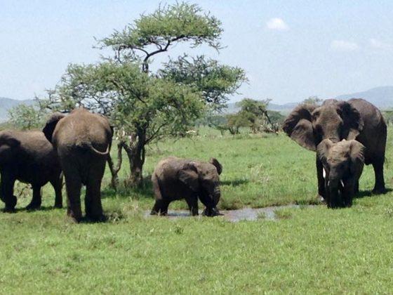 Famille d'éléphants lors du safari FAVI
