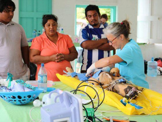 Les Béliziens aiment assister à la chirurgie de leur animal