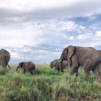 Magnifiques éléphants en Tanzanie