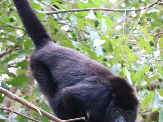 Singe hurleur en réhabilitation chez Wildtracks, Belize