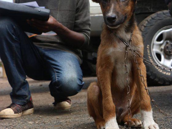 Enregistrement des chiens pour la chirurgie à Arusha, Tanzanie.