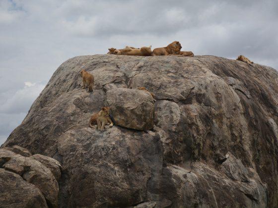 Une famille de lionnes relaxent sur un rocher