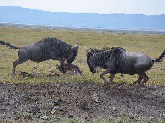 Des gnous s'affrontent dans le cratère du Ngorongoro