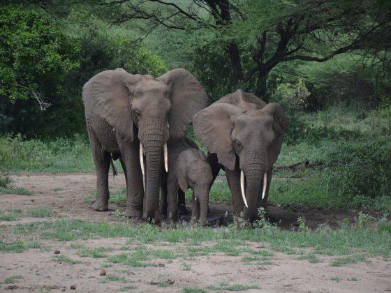 3 générations d'éléphants au parc national du