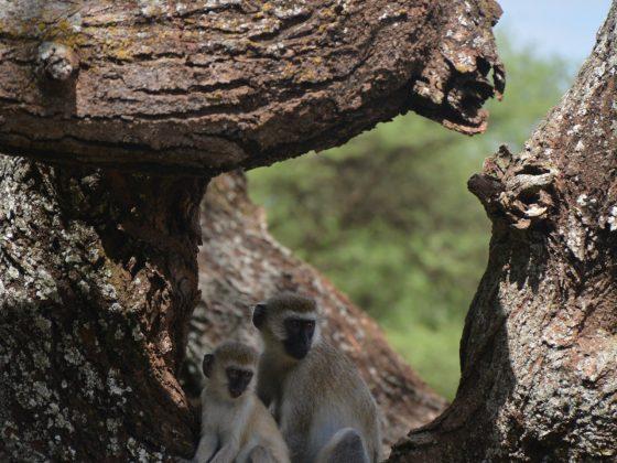 Singes vervets en Tanzanie