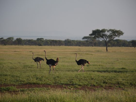 Safari FAVI; des autruches gambadent.