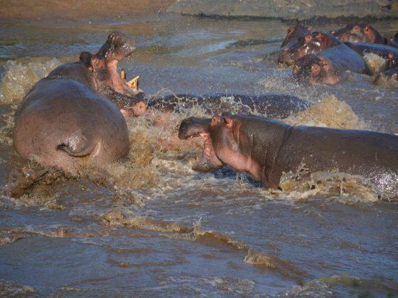 Des hippopotames s'amusent !