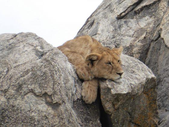 Safari FAVI; une lionne se repose.