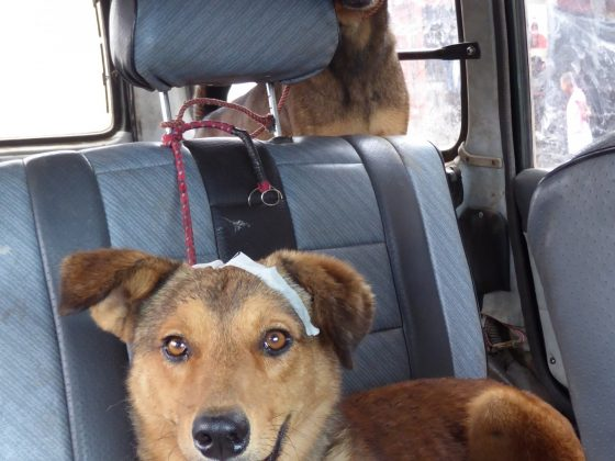 Des chiens de la rue stérilisés et vaccinés par la FAVI et Mbwa Wa Africa.