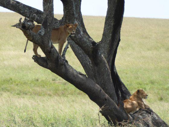 Des lionnes prennent une pause