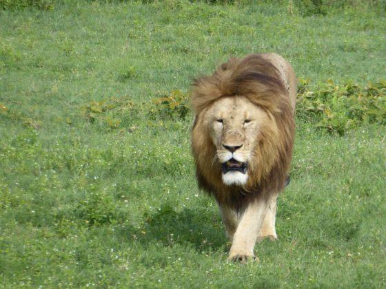 Un lion se dirige vers nous !