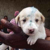 Un marquage temporaire est appliqué sur le front et le museau des chiens qui ont reçu le vaccin contre la rage.