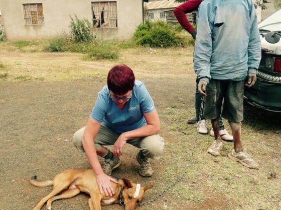 Le chien s'endort tranquillement puis sera transporté dans la zone pré-opératoire