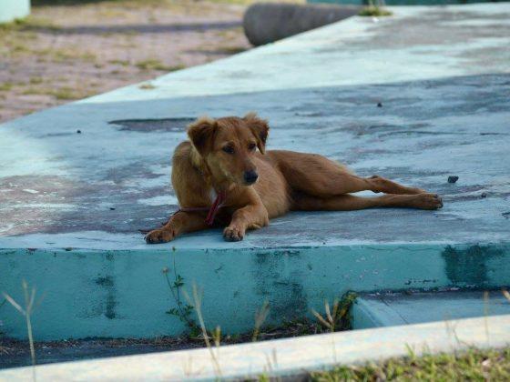 Chien à Corozal, Belize
