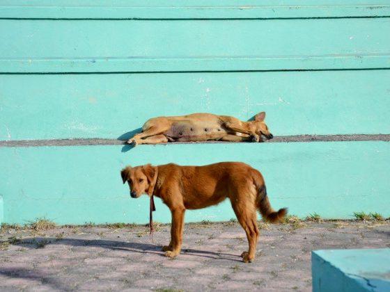 Chiens de la rue à Corozal, Belize