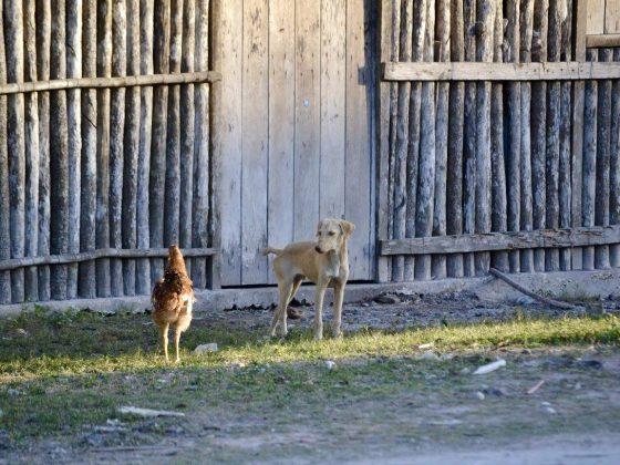 Cohabitation volaille-chien dans le village maya de Patchakan au Belize