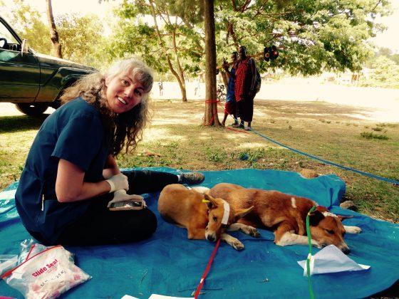 Johanne, technicienne en santé animale s'occupe du post-op sous le regard de 2 Massaïs