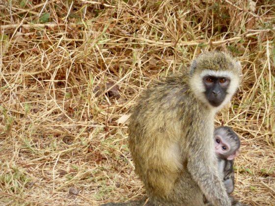 Maman singe vervet et son petit en Tanzanie