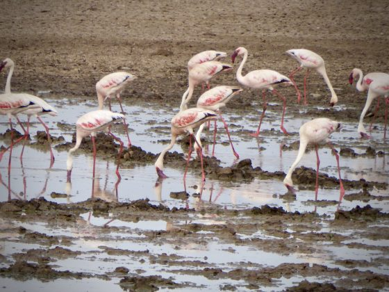 Les flamands roses du parc national de Manyara en Tanzanie