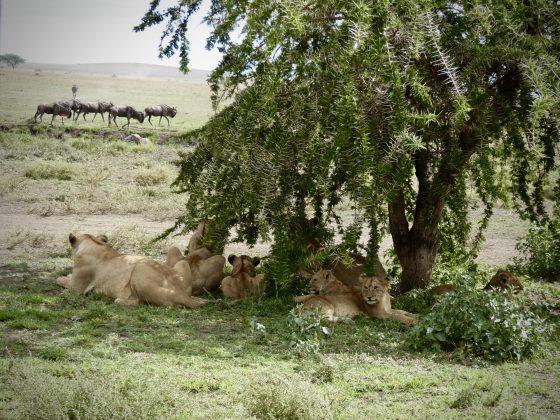 Les lionnes et les lionceaux se reposent mais la chasse reprendra sous peu.