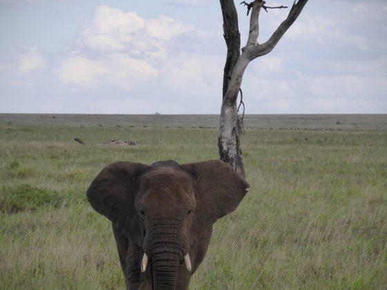 Un éléphant en Tanzanie