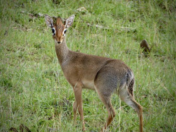 Connaissez-vous le dik-dik? Une jolie antilope naine