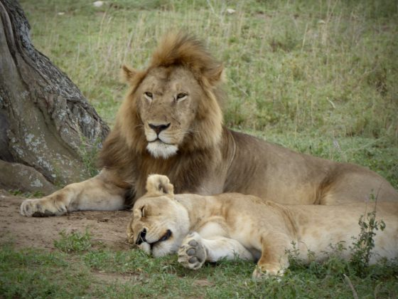 Des lions se reposent. Qu'ils sont beaux!