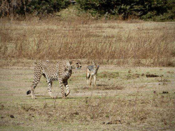 Un guépard et son ami chacal dans le cratère du Ngorongoro en Tanzanie