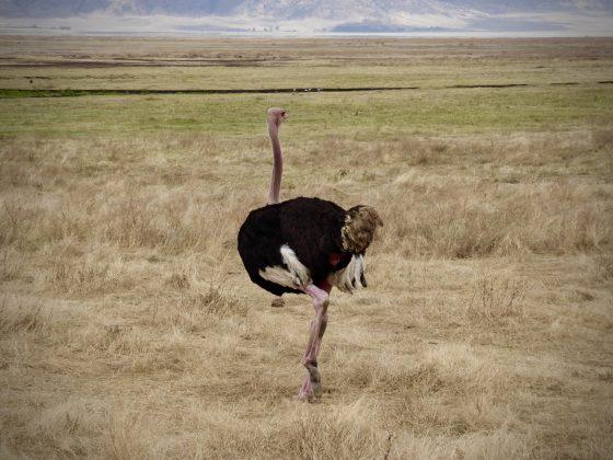 Autruche mâle dans le cratère du Ngorongoro