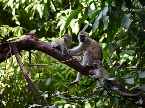 Petite famille de singes vervets
