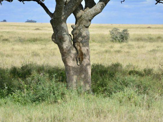 Un léopard repart à la chasse