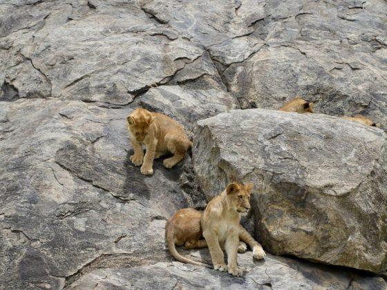 Une famille de lions en Tanzanie